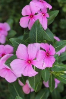 Luang Prabang Blooms